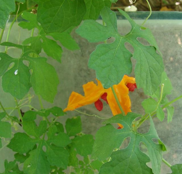 Cerasee Plant Flickr Photo Sharing