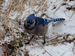 sparrow(0.0), branch(0.0), emberizidae(0.0), animal(1.0), winter(1.0), snow(1.0), fauna(1.0), blue jay(1.0), beak(1.0), bird(1.0), wildlife(1.0),