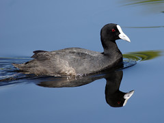 Eurasian Coot - Photo (c) David Cook Wildlife Photography, some rights reserved (CC BY-NC)