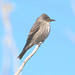 Olive-sided Flycatcher - Photo (c) Jerry Oldenettel, some rights reserved (CC BY-NC-SA)
