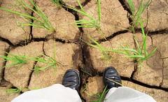 乾旱。國際稻米研究所提供。