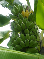 arecales(0.0), papaya(0.0), cooking plantain(1.0), banana(1.0), green(1.0), produce(1.0), fruit(1.0), food(1.0),