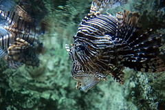lionfish on the prowl