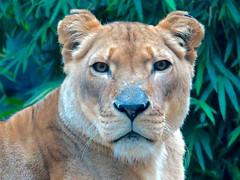 animal, big cats, lion, mammal, fauna, close-up, whiskers, safari, wildlife,