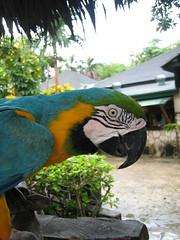 Greeter Parrot Closeup