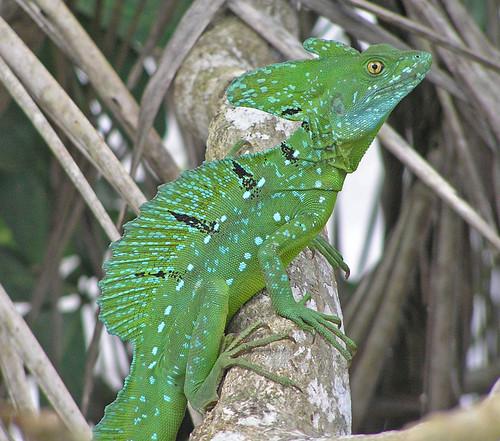 Basiliscus plumifrons male
