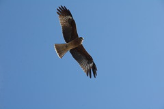 animal, hawk, bird of prey, falcon, eagle, wing, fauna, buzzard, accipitriformes, kite, beak, bird, flight,