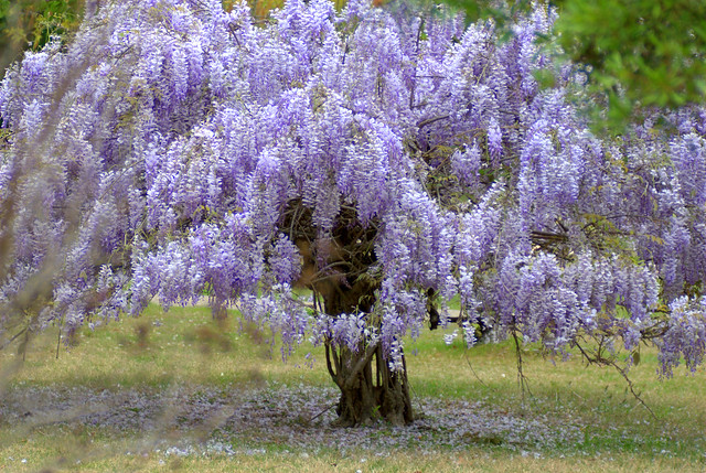 Wisteria A Gallery On Flickr