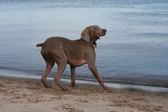 vizsla(0.0), animal(1.0), dog(1.0), pet(1.0), mammal(1.0), weimaraner(1.0),