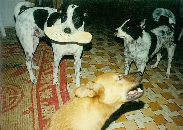 Chó Bino - Mập - Lu