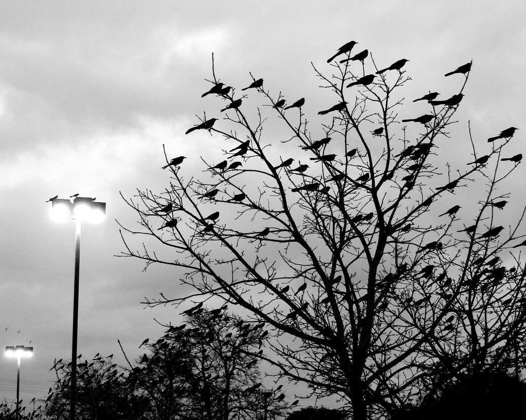 dusk birds congregation
