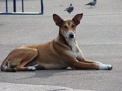 dog sports(0.0), animal sports(0.0), dingo(0.0), sports(0.0), basenji(0.0), dog breed(1.0), animal(1.0), hound(1.0), dog(1.0), sighthound(1.0), pet(1.0), street dog(1.0), mammal(1.0), ibizan hound(1.0),