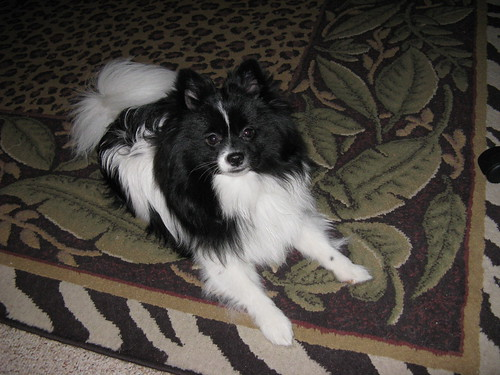 Displaying 19> Images For - Black And White Parti Pomeranian...