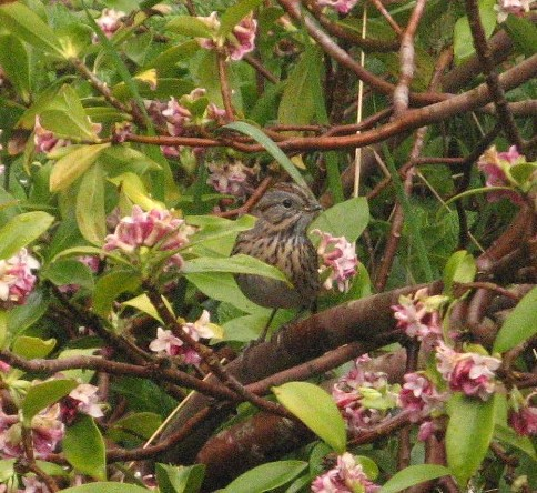 Not a Juvie WCSP Afterall~ Lincoln's Sparrow