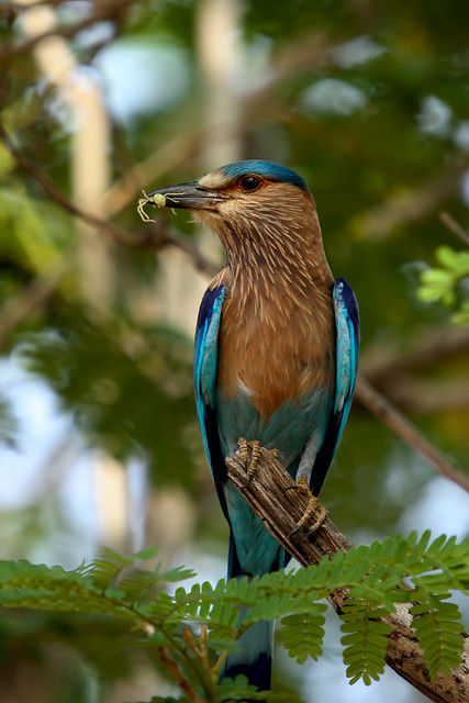 Indian roller [Canon 1000D XS REBEL][Sigma 50 500]