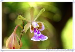 20041016_Guana@BVI_Orchid_001_A