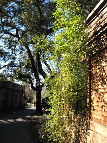 napa, calistoga ranch, bamboo, green IMG_1330