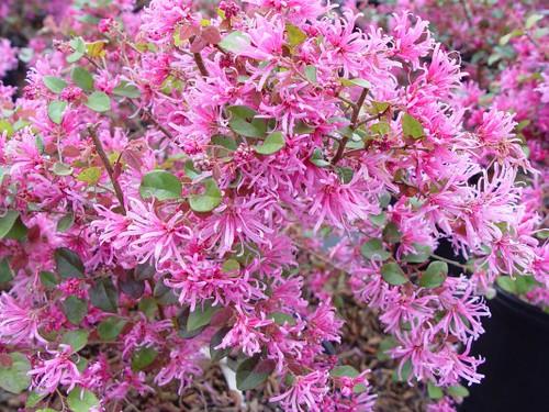 Pink fringe loropetalum flickr photo sharing for Cactus exterieur resistant au froid