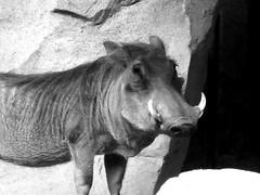 B&W boar