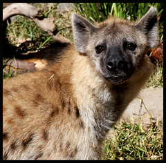 wallaby(0.0), marsupial(0.0), kit fox(0.0), animal(1.0), mammal(1.0), hyena(1.0), fauna(1.0), wildlife(1.0),