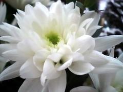 dahlia, flower, plant, flora, chrysanths, petal,