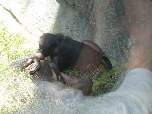 Bonobos making out