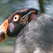 Koningsgier / King Vulture