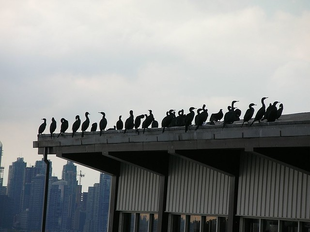 Cormorants waiting for a SeaBus