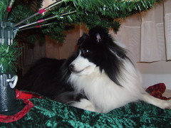 Coda under the Christmas tree by nengard