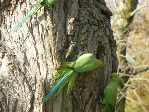 Parrots on Hampstead Heath