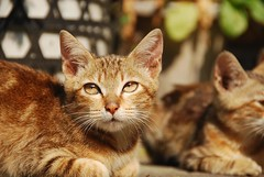 animal, small to medium-sized cats, mammal, european shorthair, pixie-bob, fauna, close-up, cat, wild cat, whiskers, domestic short-haired cat,