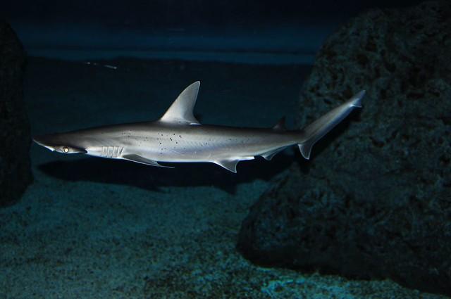 Hammerhead shark baby - photo#19