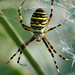 Wasp Spider - Photo (c) Bas Kers, some rights reserved (CC BY-NC-SA)