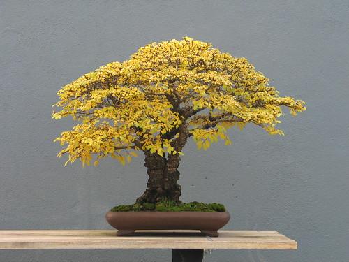 Ulmus parviflora broom style in Fall