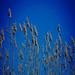 Reeds in the wind / Canne al vento