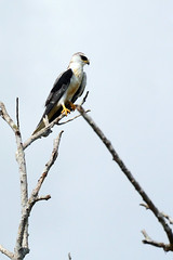 Panama: White-tailed Kite at the David Airport
