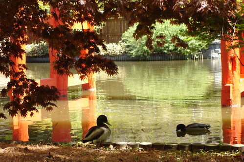 Ducks under Torii
