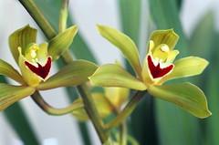 Cymbidium lowianum 'Pitts' orchid species