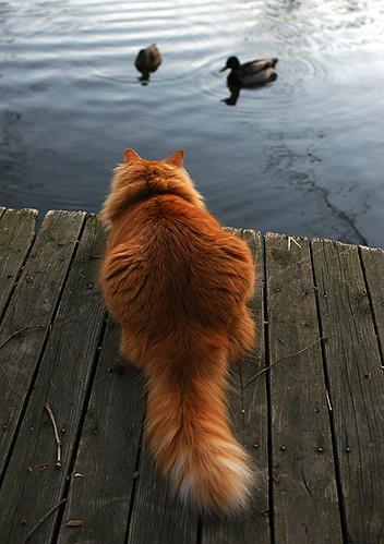 cat & ducks