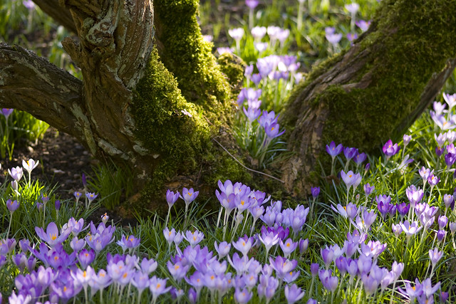 Carpet of crocuses