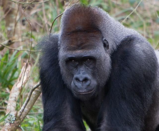 N'dowe Gorilla Paignton - a gallery o...