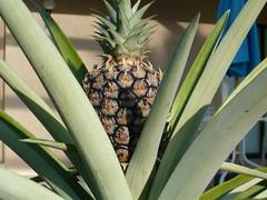 home grown pineapple