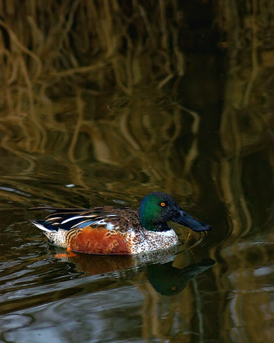 reflection bird nature water birds animal vertical duck colorado fort wildlife birding smooth fortcollins ave co collins ornithology northernshoveler avian birdwatcher larimer glide anasclypeata anatidae anseriformes dabbling anatinae clff