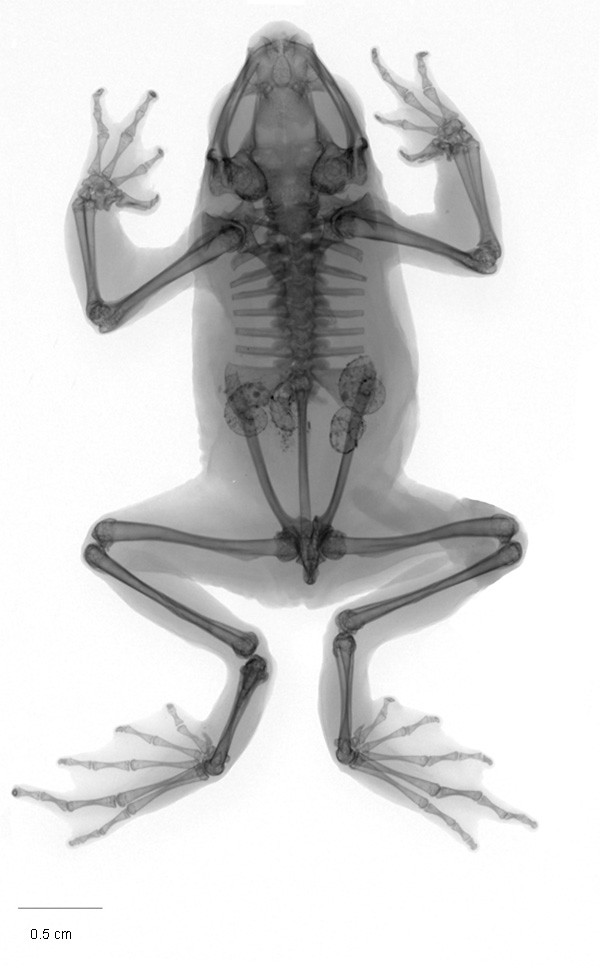<i>Atelopus arthuri</i> Arlequín de Arthur