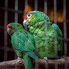 _MG_0782 Red-lored Parrot.jpg
