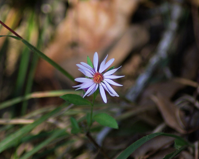 Late Season Smooth Blue Aster, Huckleberry Trail, Woolley Hollow State Park, Arkansas, November 4, 2007