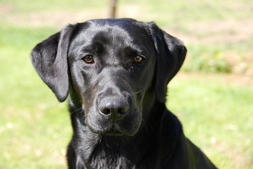 Jingle the Black Labrador