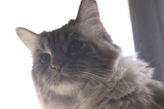 domestic long-haired cat, animal, british semi-longhair, small to medium-sized cats, pet, siberian, cat, carnivoran, whiskers, nebelung, norwegian forest cat, birman,