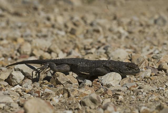 Western Fence Lizard (Sceloporus occidentalis) | The ...
