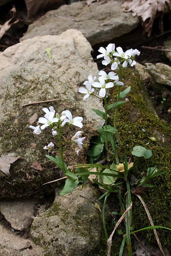 Purple Cress (Cardamine douglassii)